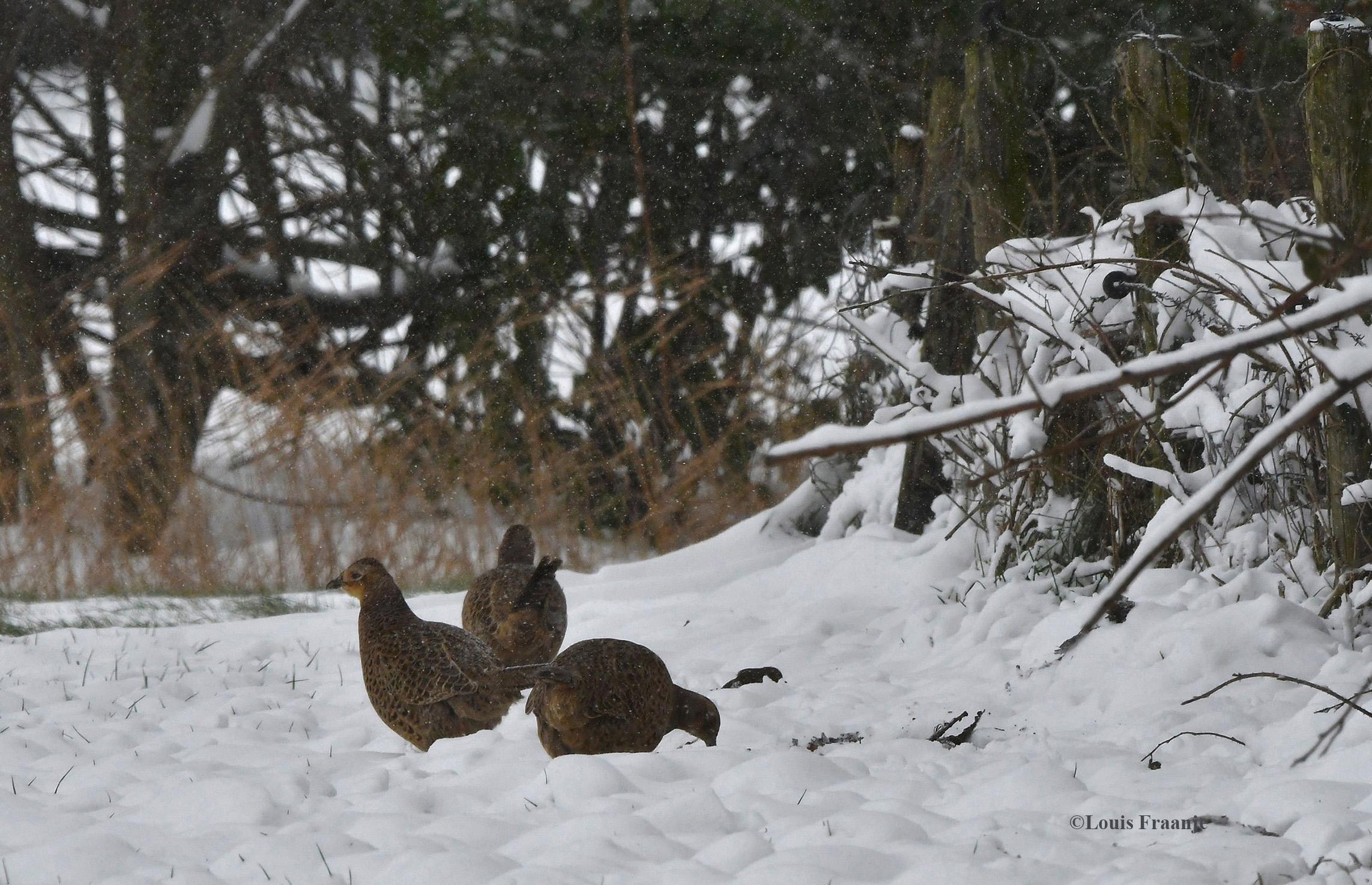 Enkele fazanten hennetjes op zoek naar wat eetbaars - Foto: ©Louis Fraanje