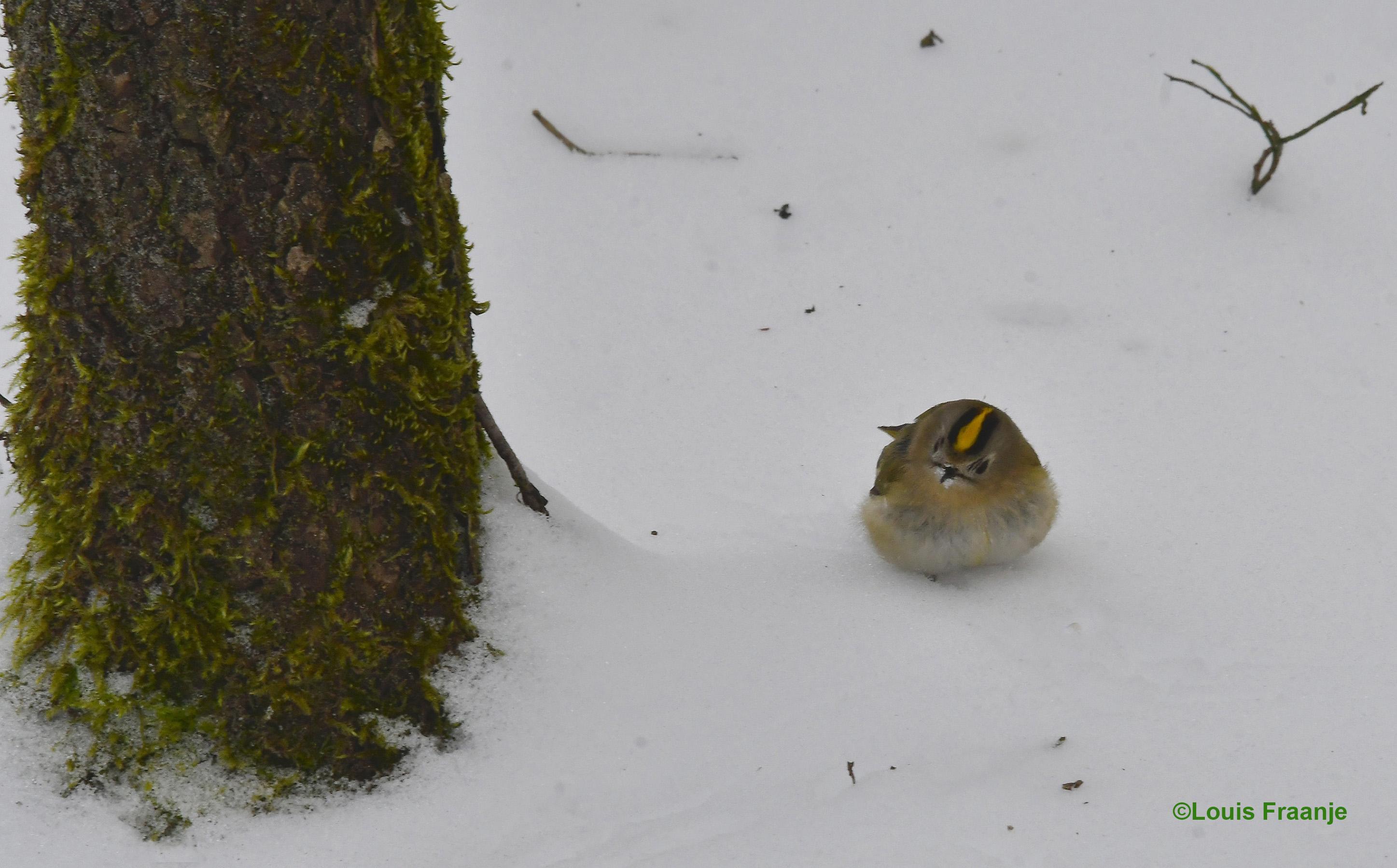 Voor zo'n heel klein vogeltje valt het zeker niet mee in de sneeuw - Foto: ©Louis Fraanje