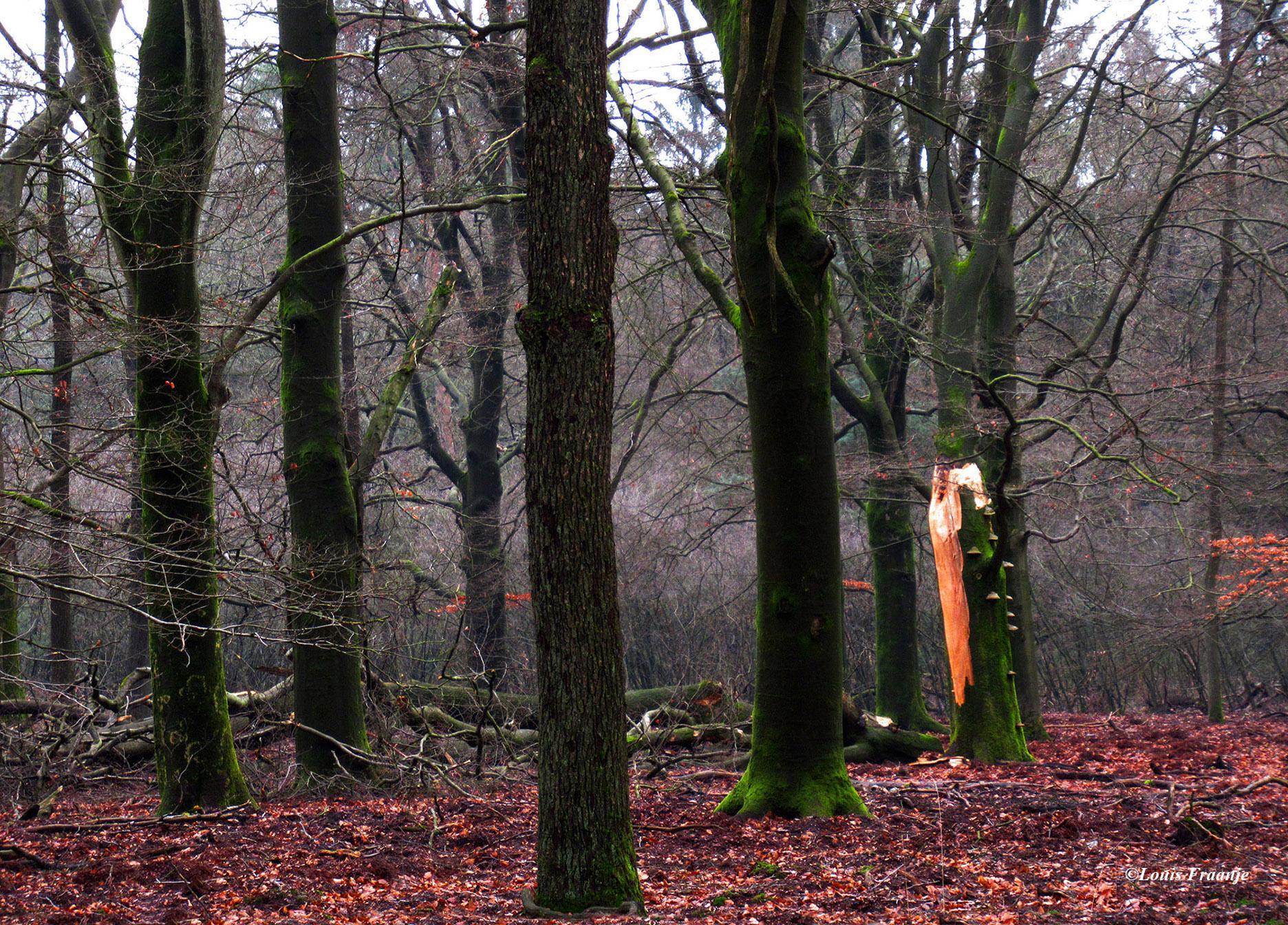 Op de voorgrond het oude bos, met daarachter het jonge bos in opkomst - Foto: ©Louis Fraanje