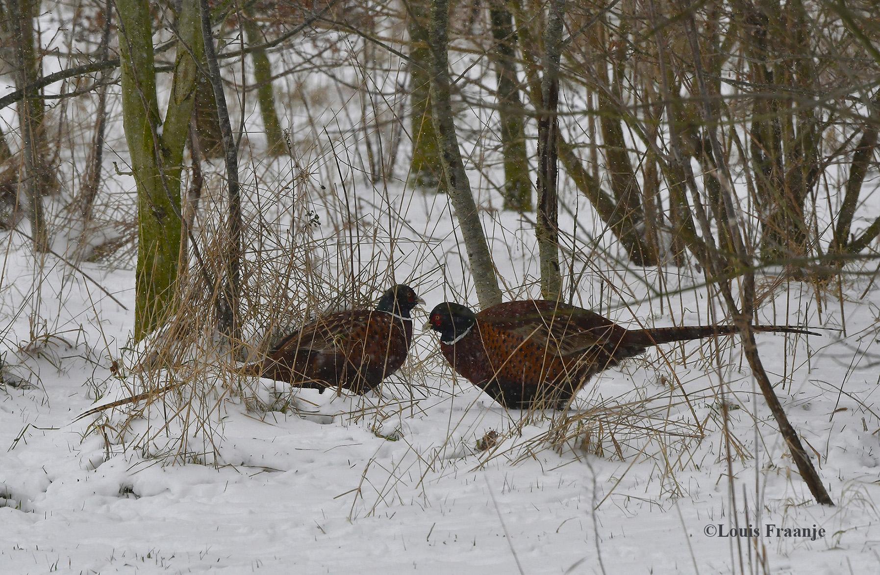 De hanen bleven een beetje in de dekking van een houtwal - Foto: ©Louis Fraanje