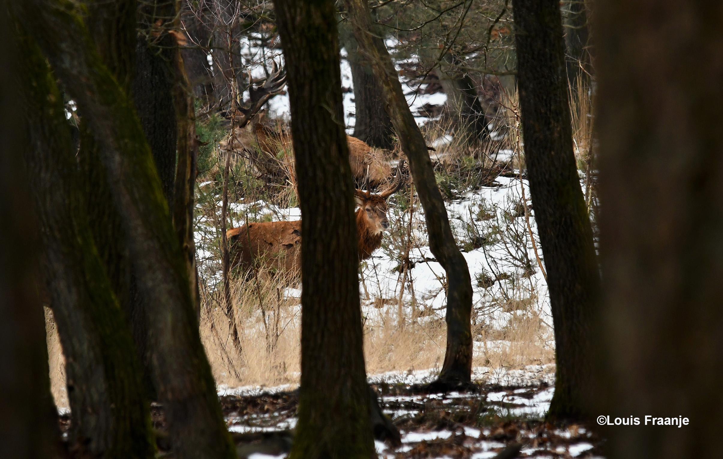 Ergens heel ver weg tussen de bomen zien we Hubertus, met zijn maatje op de voorgrond - Foto: ©Louis Fraanje