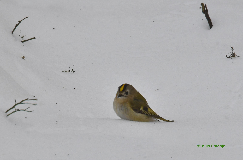 Een klein kleurrijk vogeltje in die grote witte wereld - Foto: ©Louis Fraanje
