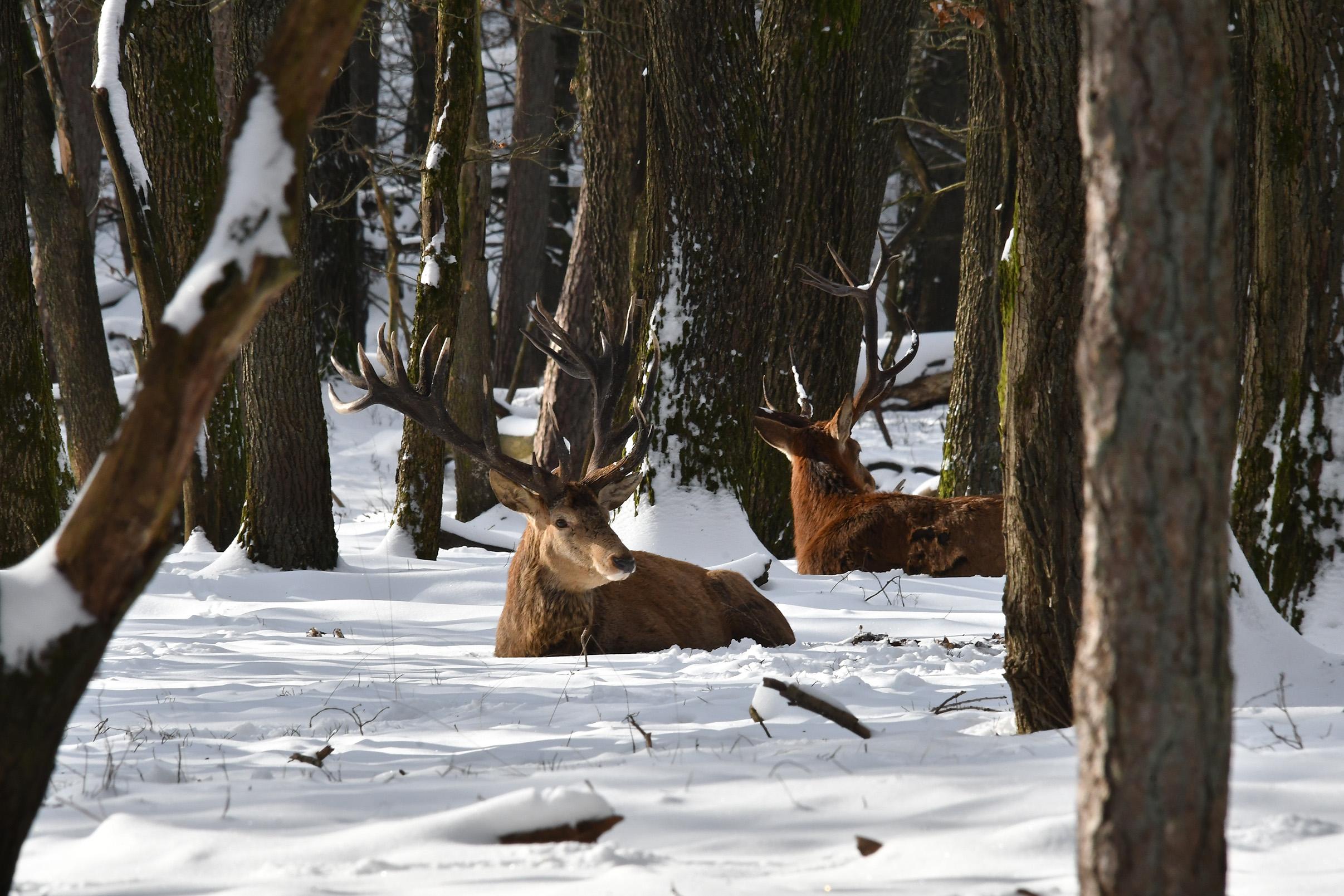 Heel even kijken ze allebei op, maar gaan daarna weer rustig verder met herkauwen - Foto: ©Louis Fraanje