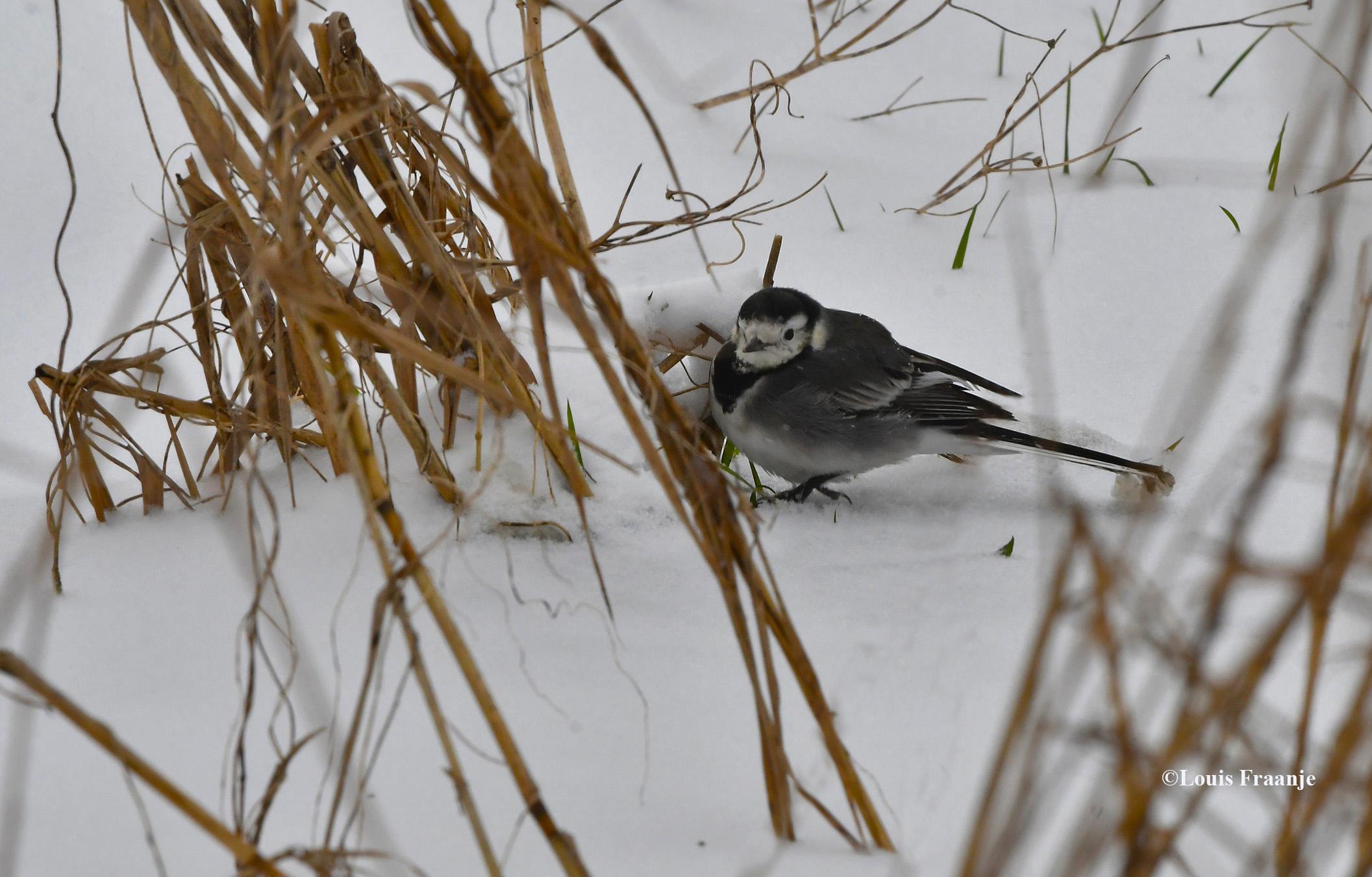 Het kwikstaartje had blijkbaar niet zoveel op met de sneeuw, hij leeft van insecten - Foto: ©Louis Fraanje
