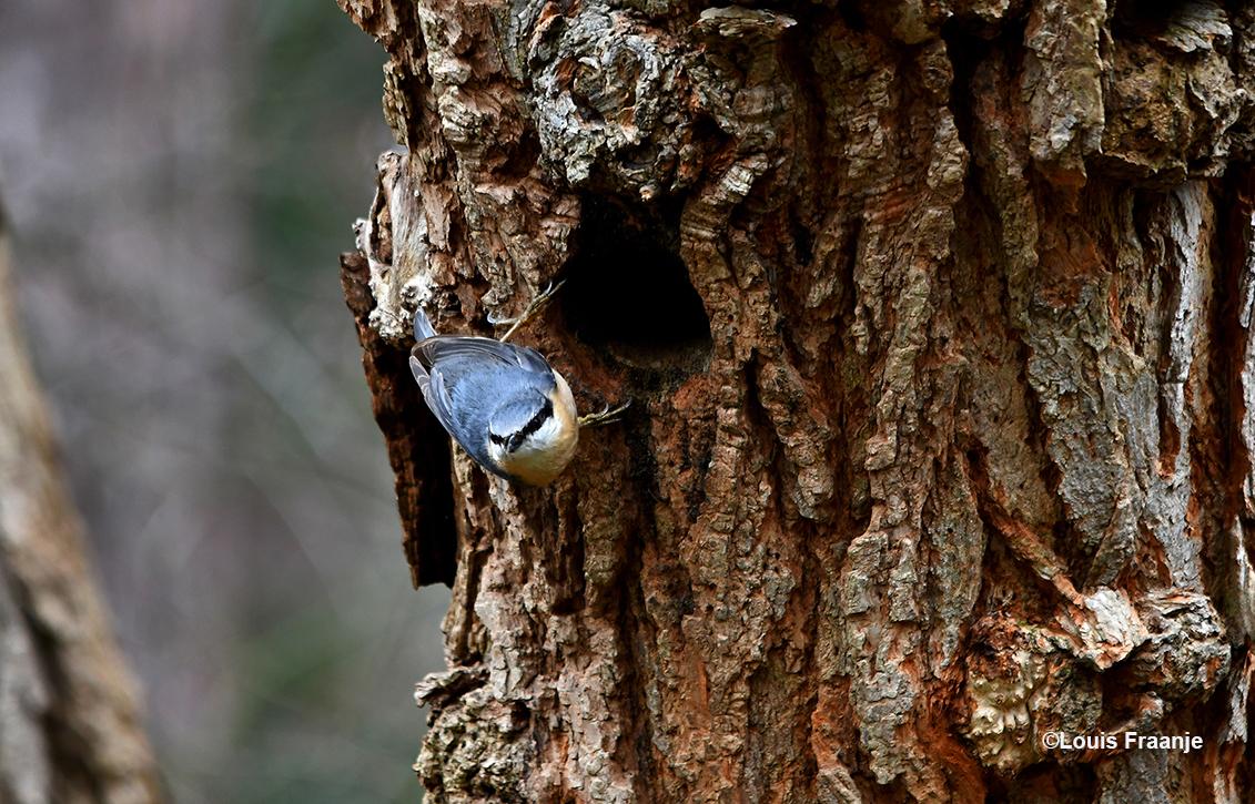 De boomklever heeft al een huisje gevonden in een oude acacia . En gaat de ingang vaak met modder en/of poep kleiner maken. Let eens op die kleine pootjes, prachtig. - Foto: ©Louis Fraanje