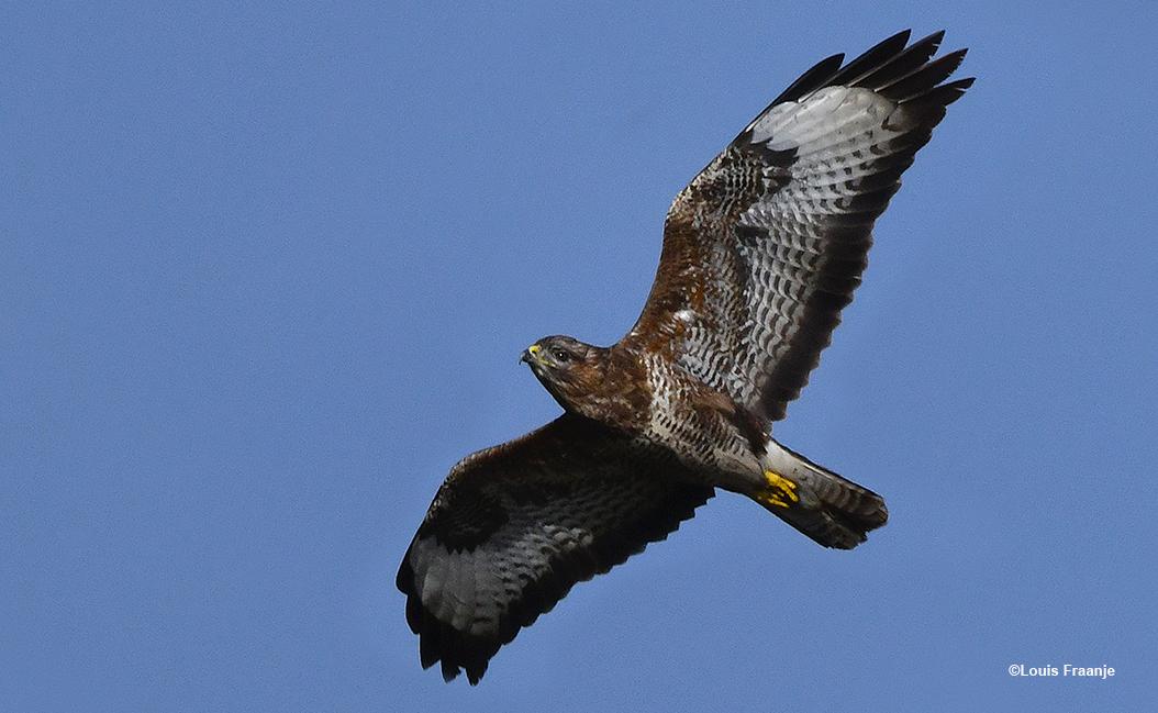Zit ik stil op mijn aanzitplekje in het veld, hangt er ineens een buizerd recht boven mij in de lucht - Foto: ©Louis Fraanje