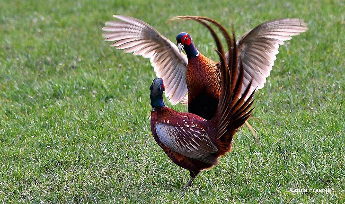 Als dan de vleugels wijd uitgespreid worden begint de strijd - Foto: ©Louis Fraanje