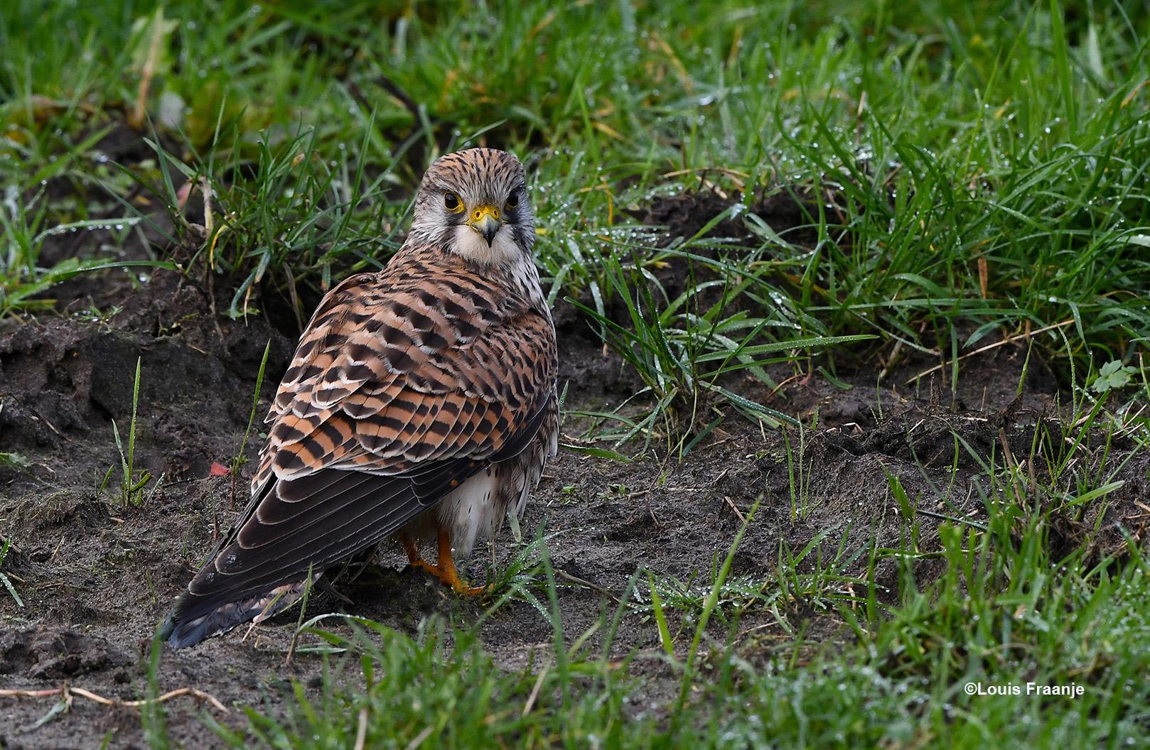 Zo stonden we onverwachts 'oog in oog' met een torenvalk, die op een stil plekje in het gras zat - Foto: ©Louis Fraanje