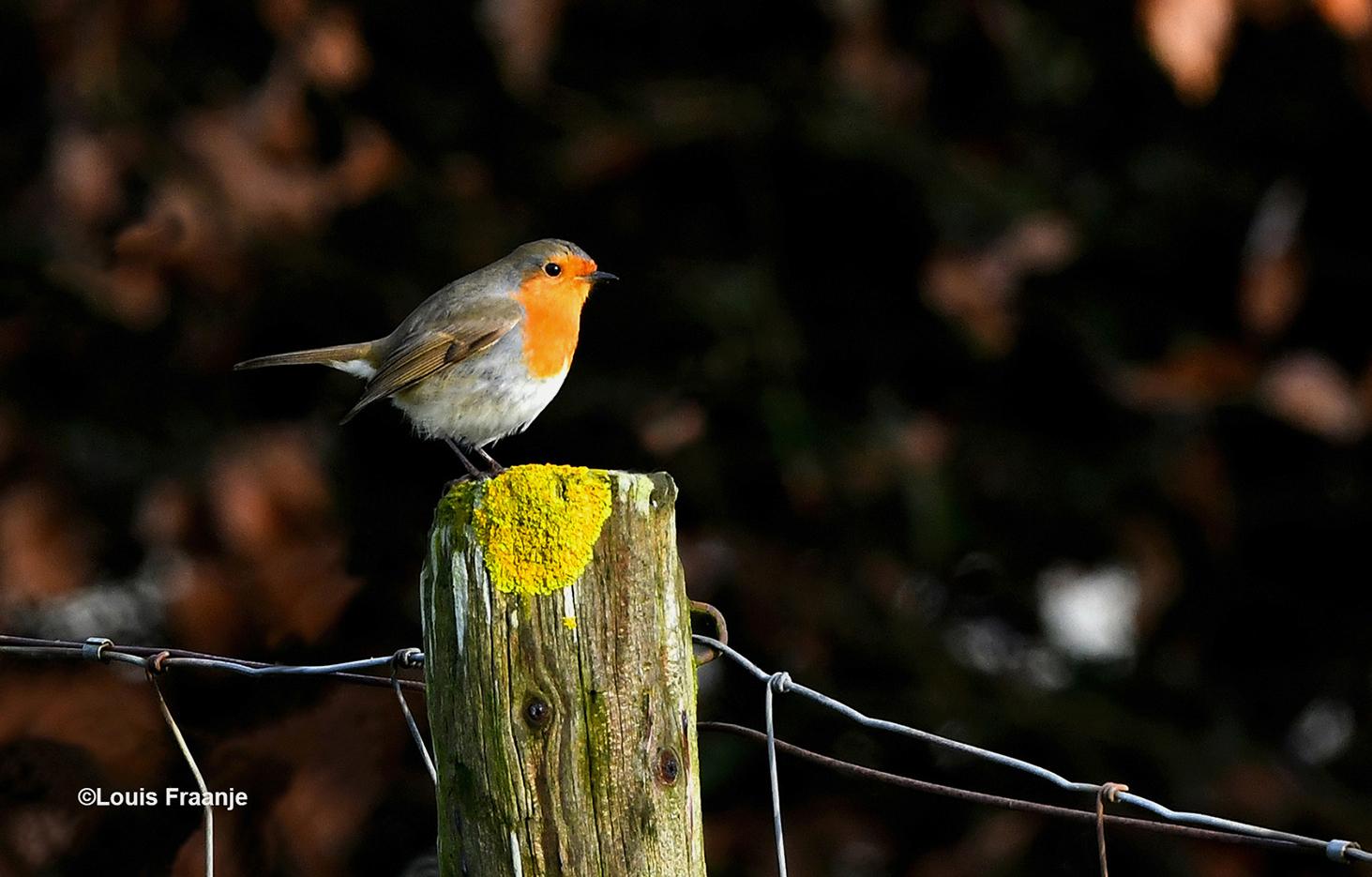 Een roodborstje poseert eventjes op een heiningpaal voor de fotograaf - Foto: ©Louis Fraanje