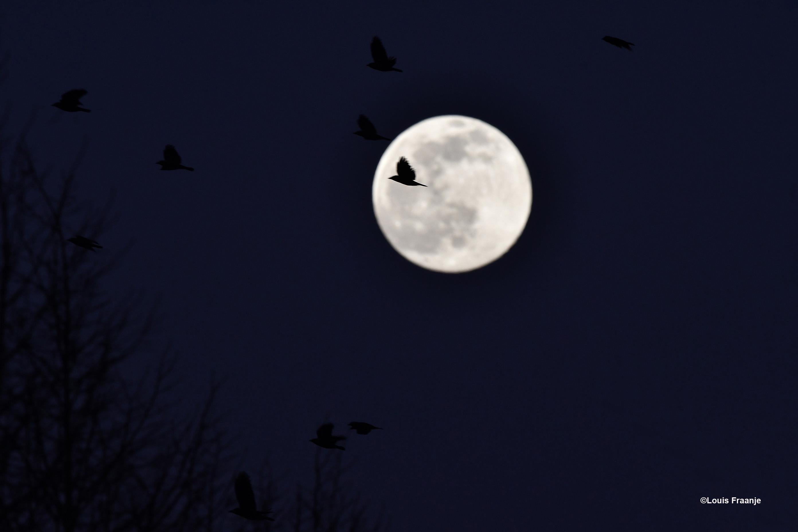 Vroeg in de avond vlogen de kraaien naar hun slaapboom, met op de achtergrond de volle maan - Foto: ©Louis Fraanje