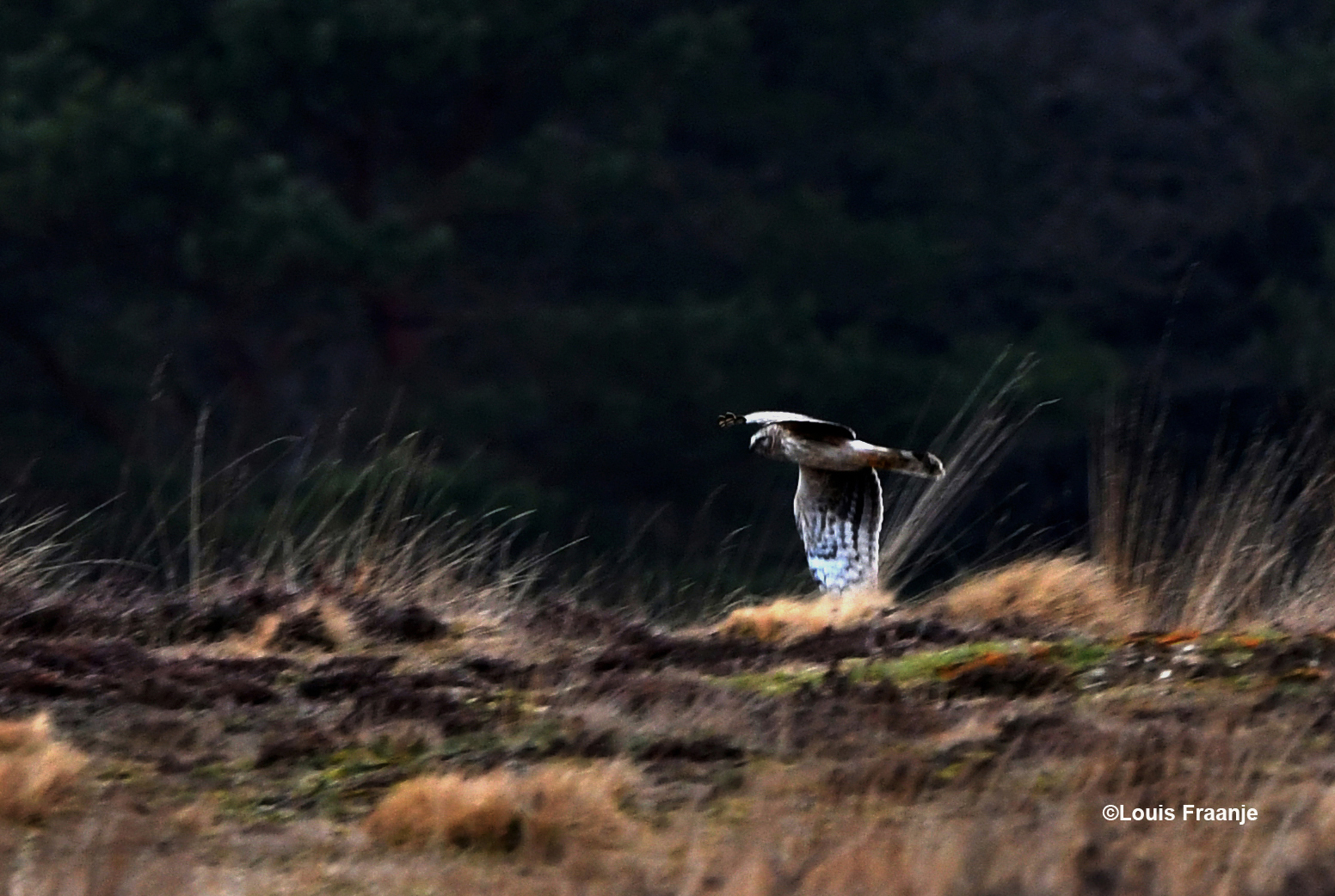 In glijvlucht kwam ze af en toe rakelings over de heide vliegen - Foto: ©Louis Fraanje