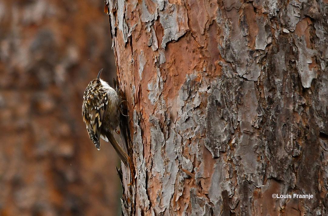 De kleine en schuwe boomkruiper speurt de boomschors af naar kleine beestjes - Foto: ©Louis Fraanje