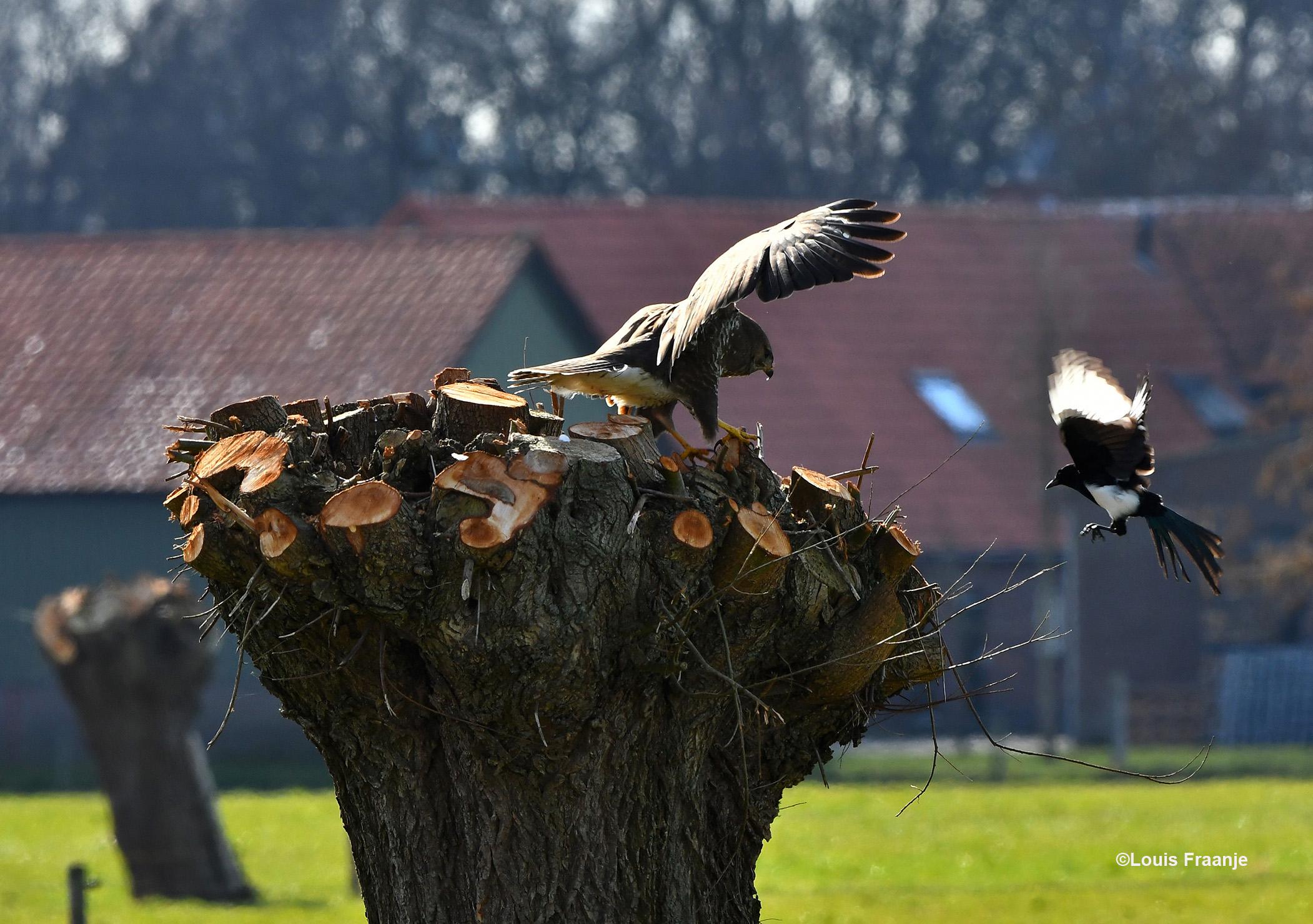 Even later vliegt hij naar een knotwilg met zijn prooi, maar ook daar laten ze hem niet met rust - Foto: ©Louis Fraanje