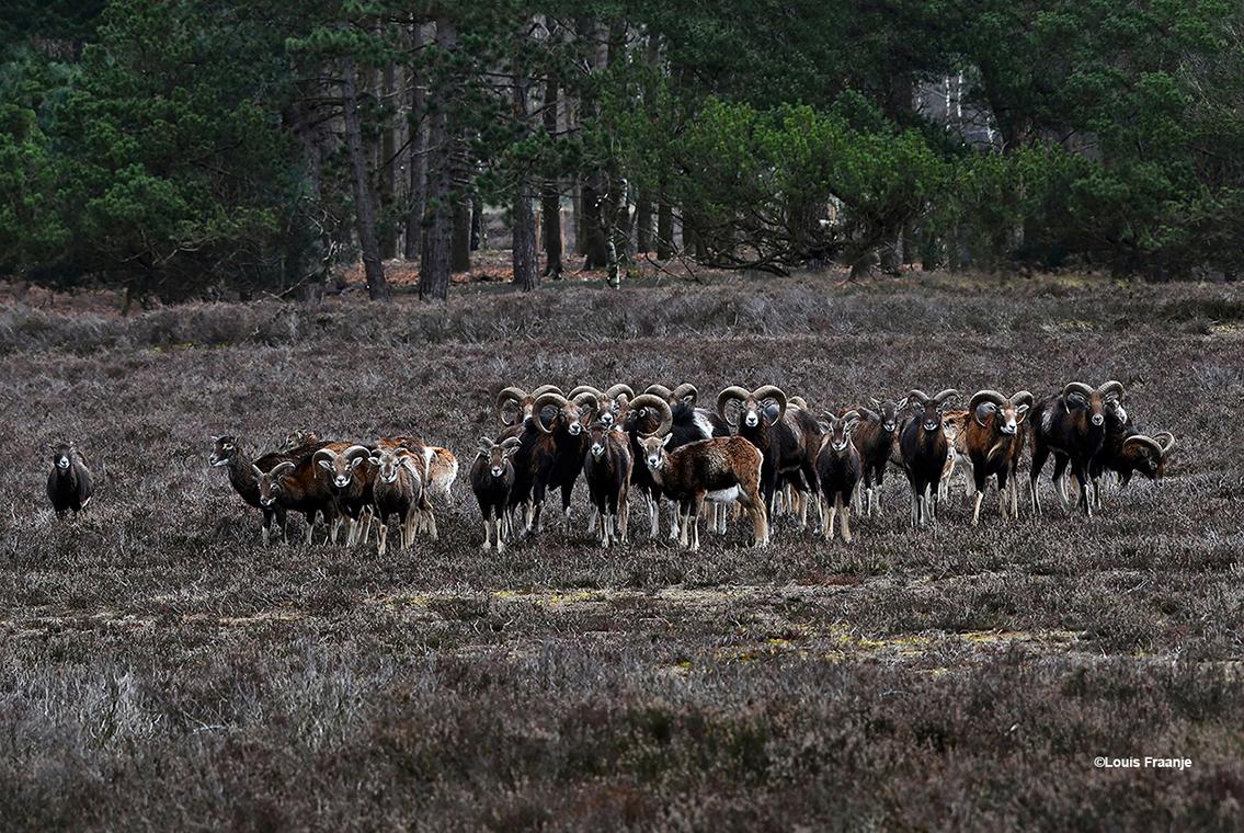 Letterlijk en figuurlijk stonden we 'oog in oog' met de kudde moeflons - Foto: ©Louis Fraanje