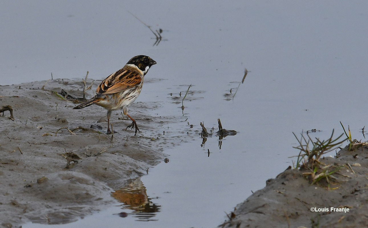 Een rietgors is op zoek naar voedsel in het natte gedeelte aan de waterkant. Het is wel een beetje aanmodderen voor hem - Foto: ©Louis Fraanje