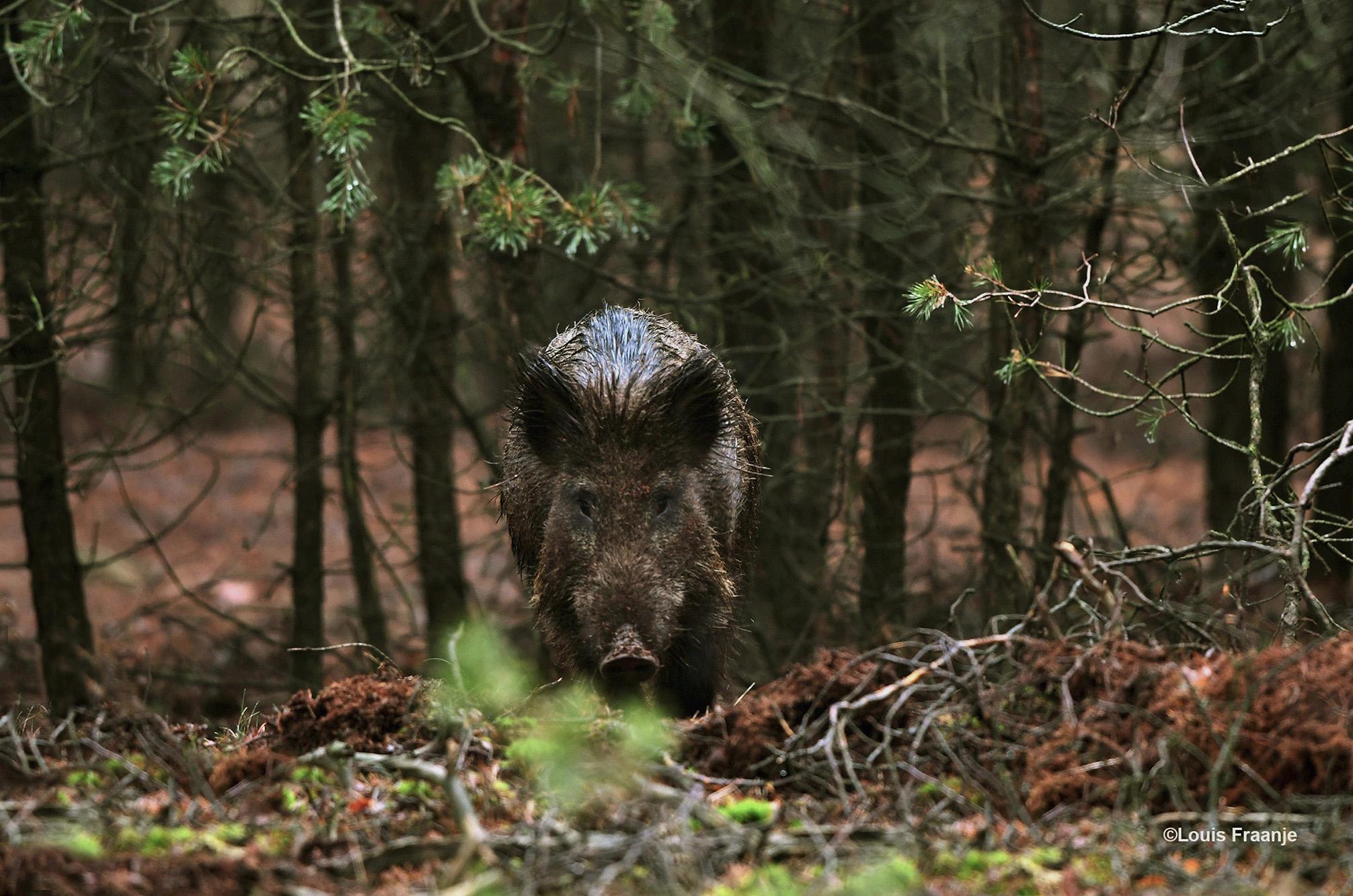 En zo stonden we ineens 'oog in oog' met dit wilde zwijn, een jonge keiler - Foto: ©Louis Fraanje