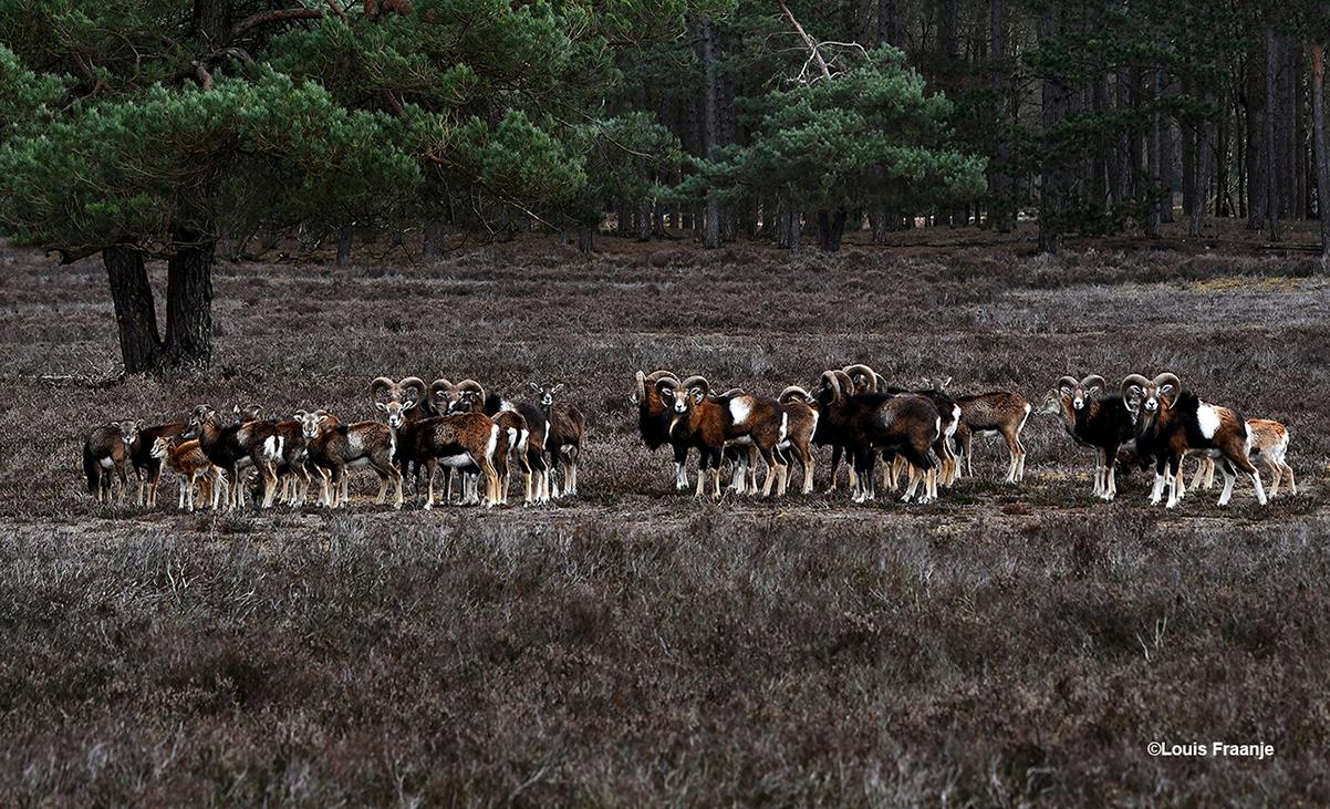 In alle rust konden we genieten van de kudde moeflons op de Noorderheide - Foto: ©Louis Fraanje