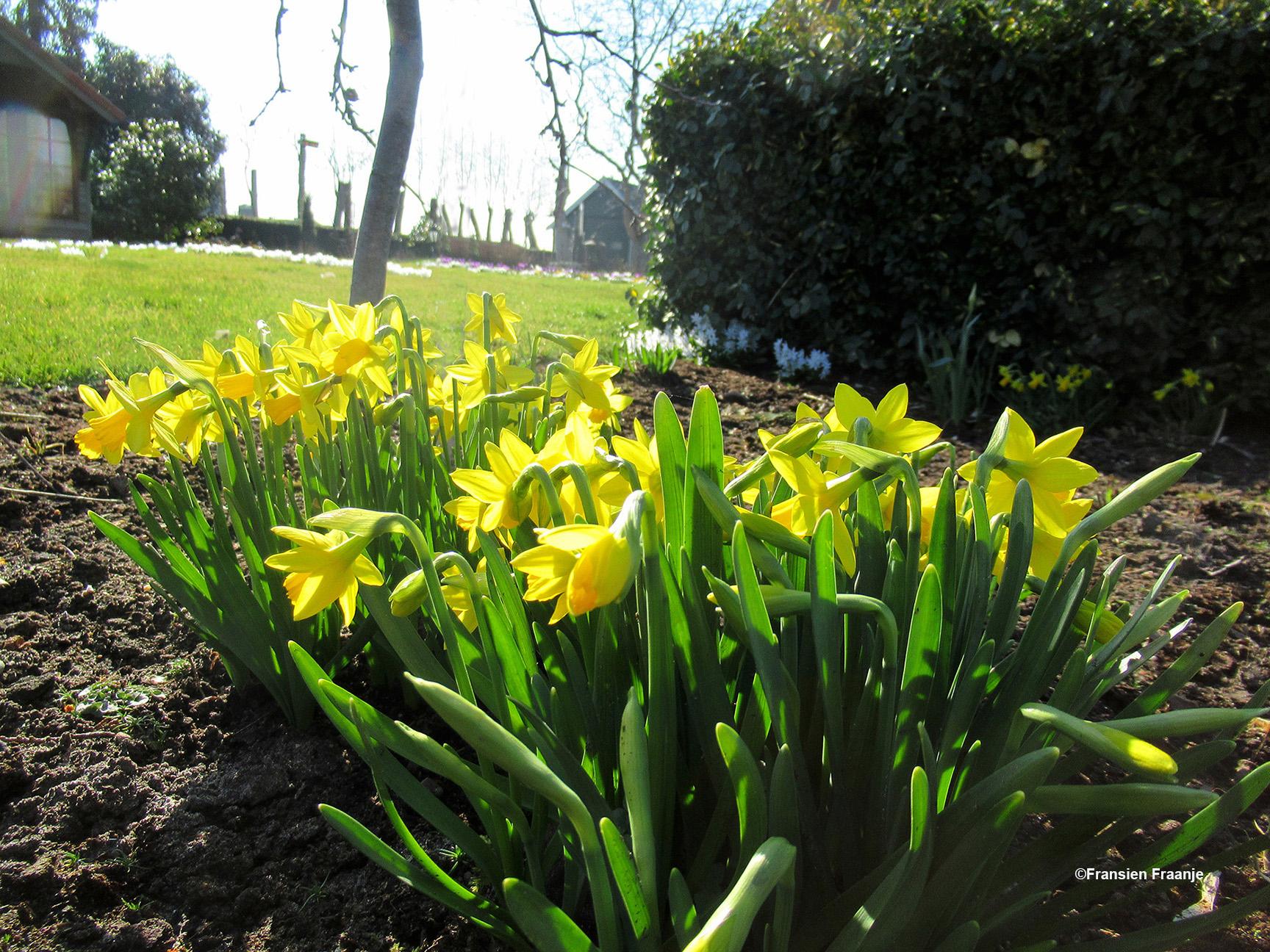 Ook de prachtige narcissen bloeien - Foto: ©Fransien Fraanje