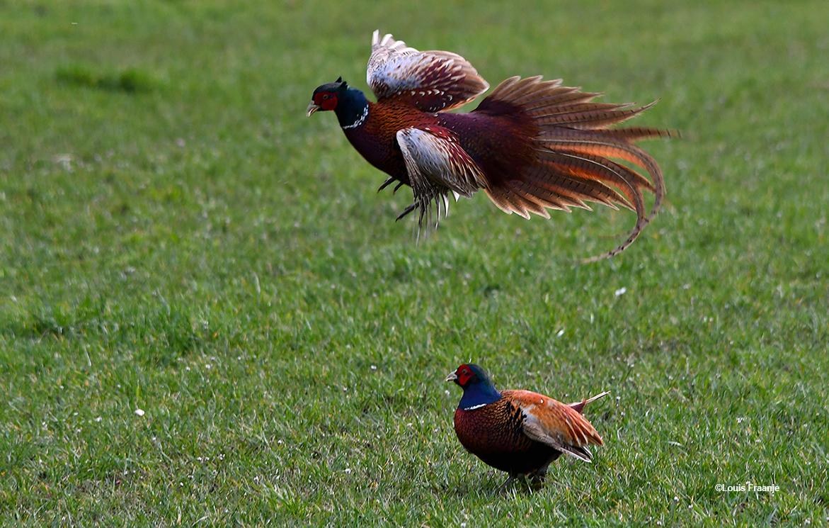 De ene haan vliegt hoog over de andere - Foto: ©Louis Fraanje