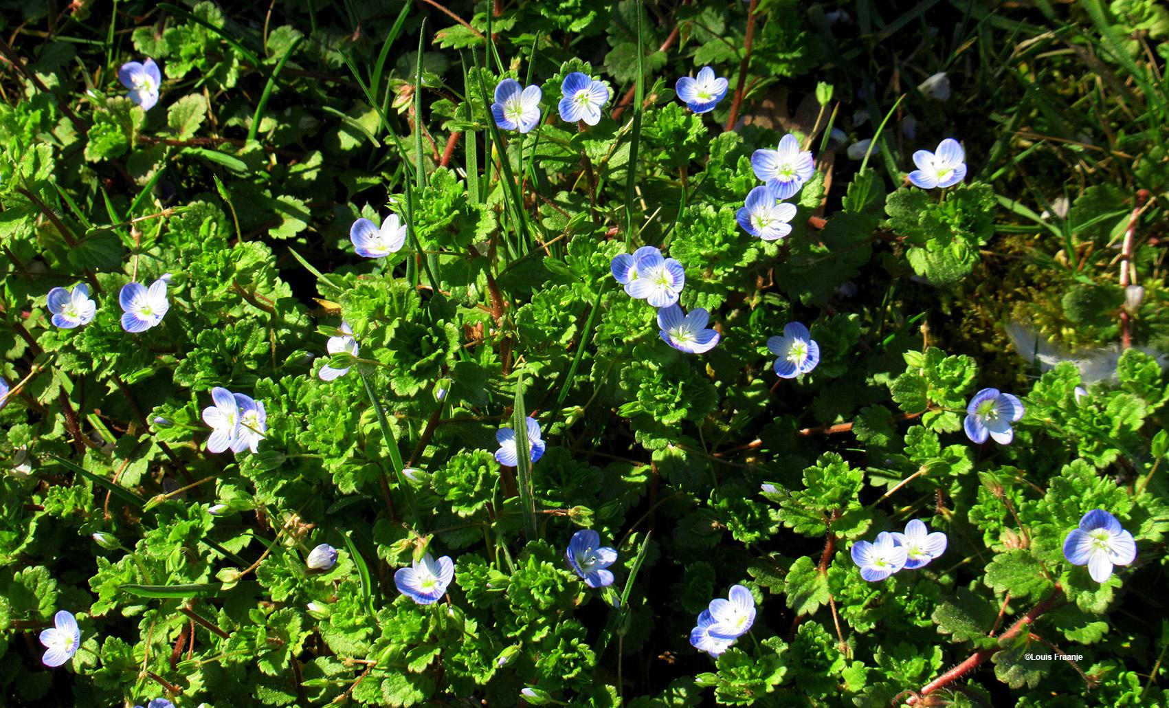 Een blauw tapijt van Ereprijs, als ik deze bloemetjes zie staan, dan verwar ik ze soms nog weleens met de vergeet-mij-nietjes, waarbij ik onwillekeurig terug moet denken aan het Poezie-album van mijn zus vroeger op school. Gelukkig zijn er altijd vrienden, zoals Diet de Ridder, die me bij de les houden, waarvoor dank! - Foto: ©Louis Fraanje