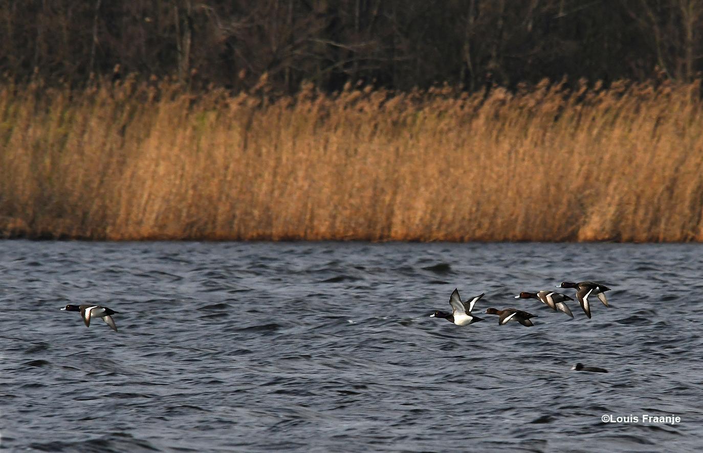 Even later kwam er een vlucht kuifeenden heel laag over het water voorbij vliegen - Foto: ©Louis Fraanje