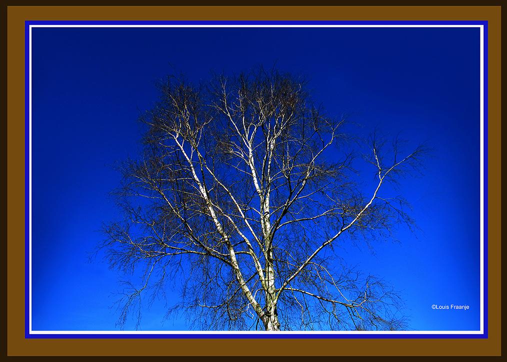 Een prachtige witte berk met een wirwar van takken en daarboven een stralend blauwe hemel - Foto: ©Louis Fraanje