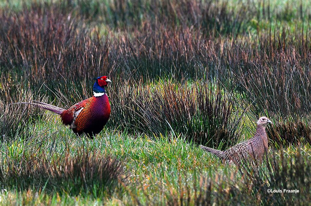 De prachtige fazantenhaan achtervolgt mevrouw fazant, het hennetje. Maar... ze laat zich niet zomaar pakken! - Foto: ©Louis Fraanje