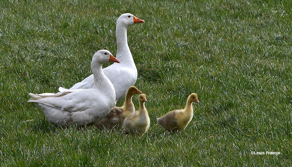 Een klein ganzengezinnetje in het weiland bij een boerderij - Foto's: ©Louis Fraanje