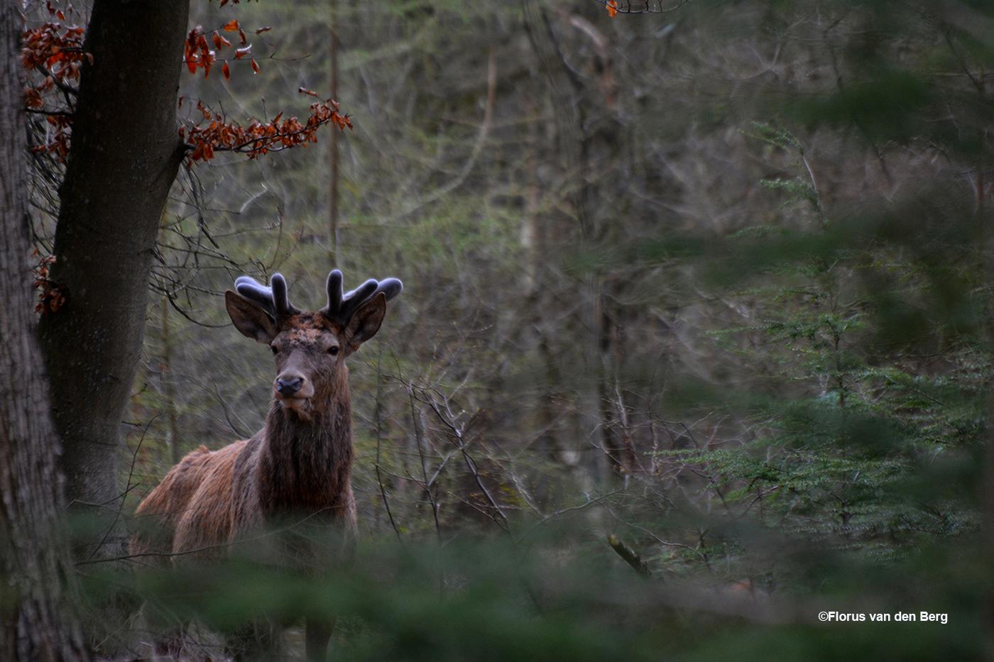 Plotseling zagen we Lambertus in de bosrand staan - Foto: ©Florus van den Berg