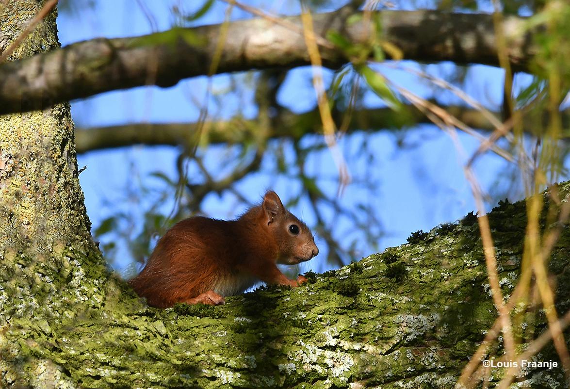 En... verder omhoog ontdekten we de eerste jonge eekhoorn - Foto: ©Louis Fraanje