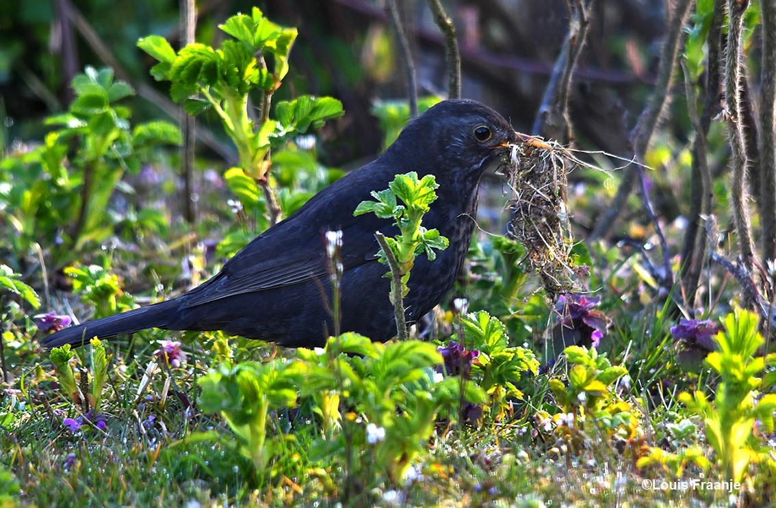 Het merelvrouwtje was al vroeg bezig tussen de struiken, om zoveel mogelijk nestmateriaal te verzamelen. Wat een ijver op deze vroege morgen. - Foto: ©Louis Fraanje