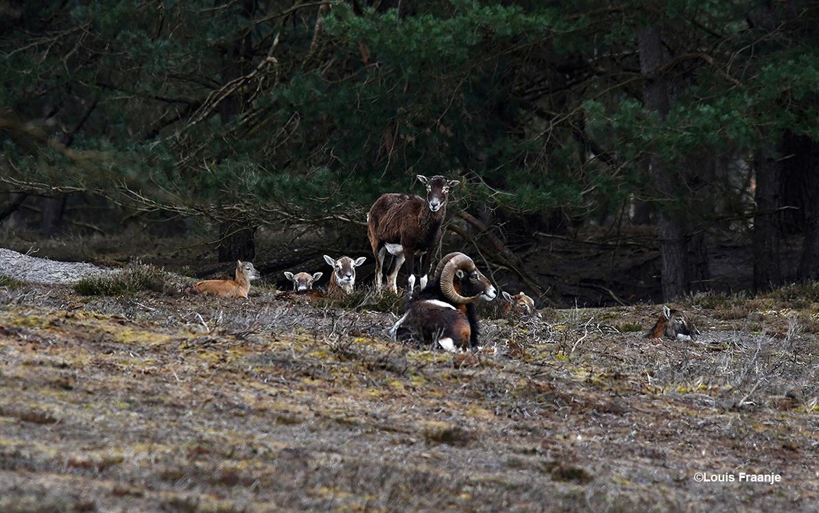 Een kleine groep moeflons op een heuvel, met links een lammetje - Foto: ©Louis Fraanje