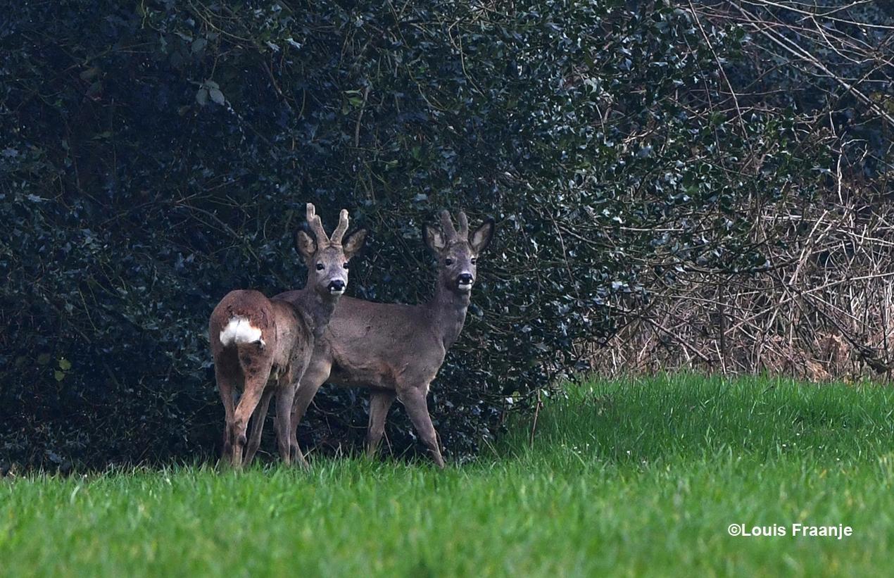 Oog in oog met deze twee jonge reebokken, nog in bastgewei - Foto: ©Louis Fraanje