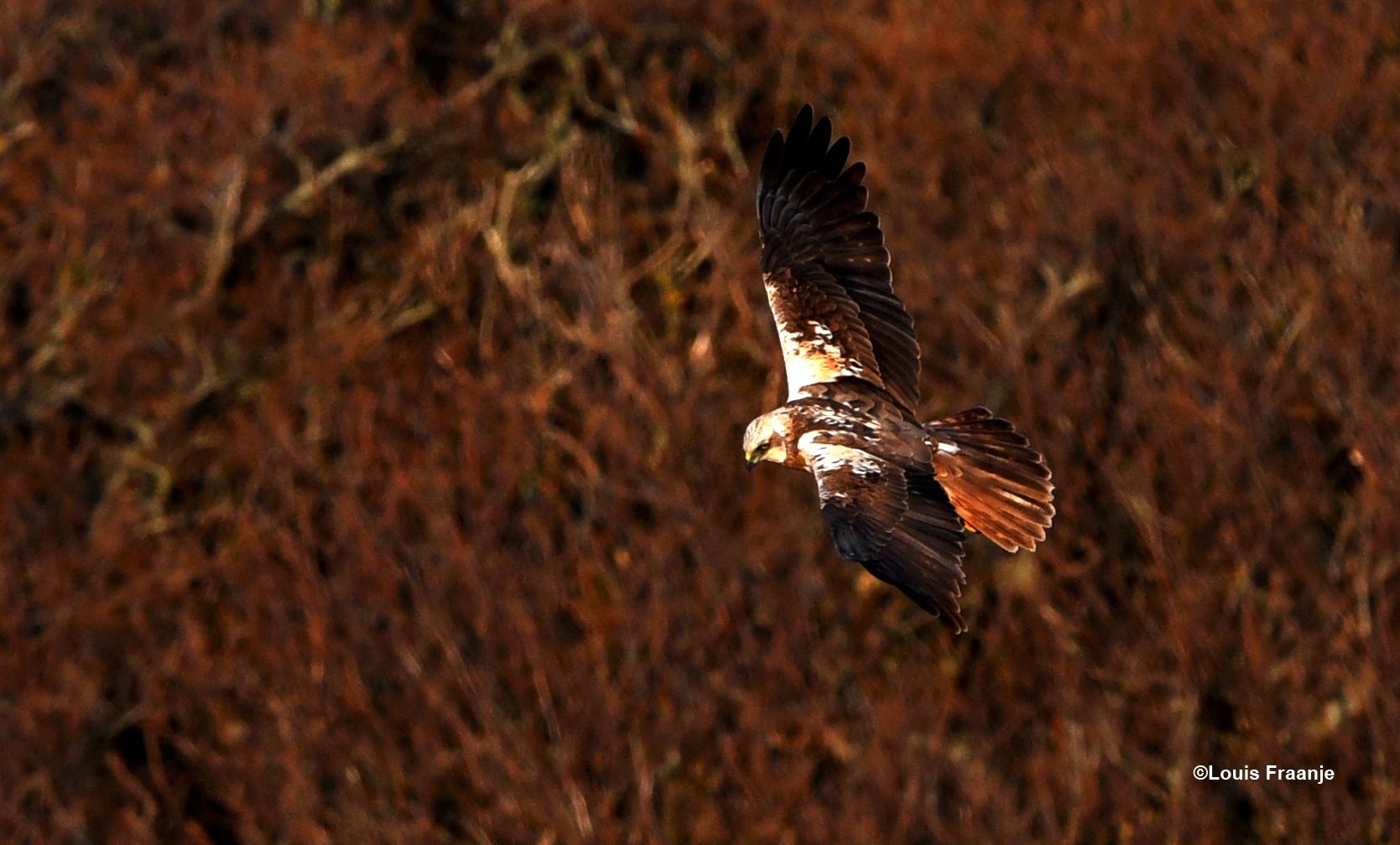 Daar zweefde ineens het vrouwtje van de bruine kiekendief - Foto: ©Louis Fraanje