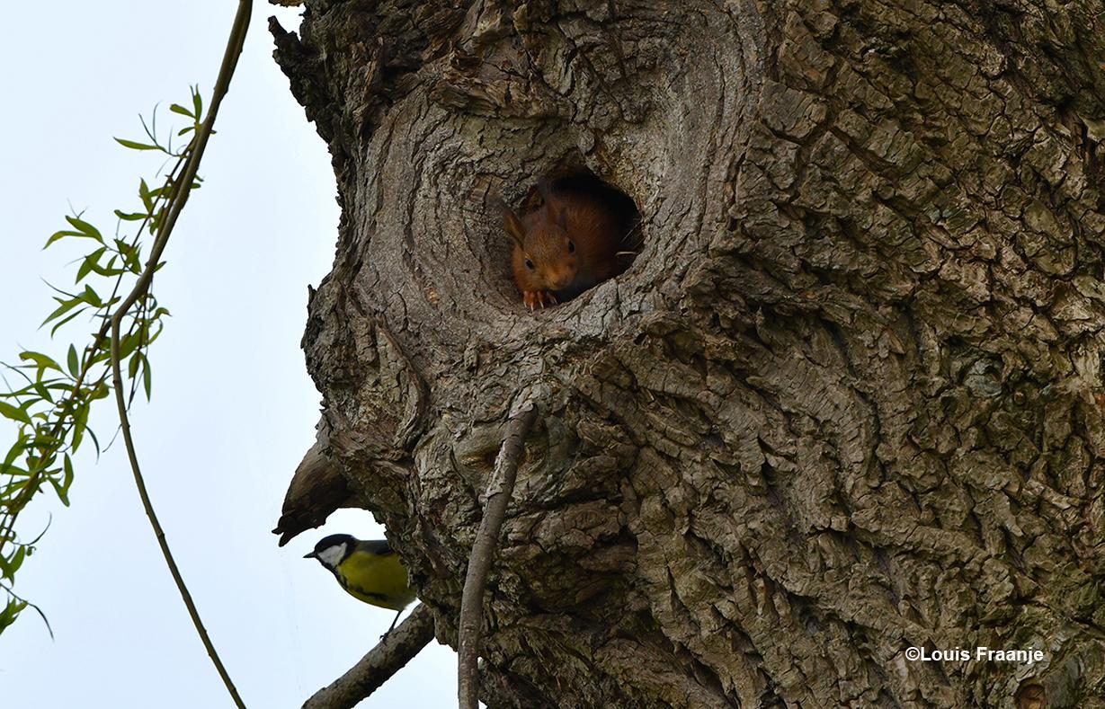 De eekhoorn voor zijn nestholte en linksonder de koolmees - Foto: ©Louis Fraanje