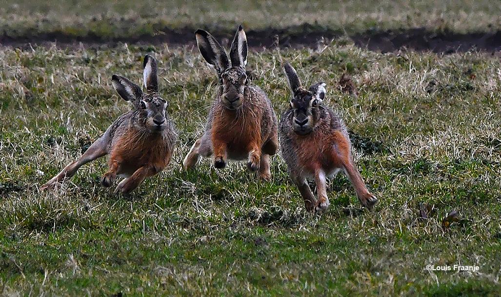 Het was dringen geblazen bij deze drie hazen, ze renden bijna in de telelens - Foto: ©Louis Fraanje