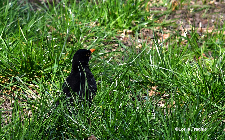 Een merel(man) op zoek naar wormen in het gras - Foto: ©Louis Fraanje