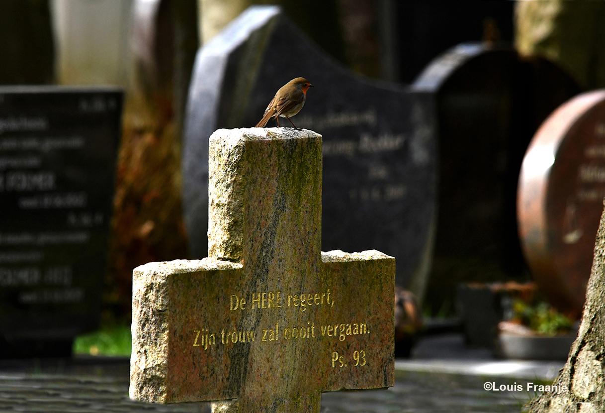 Het roodborstje zat iets verder weg ergens op een grafsteen, die de vorm had van een kruis - Foto: ©Louis Fraanje