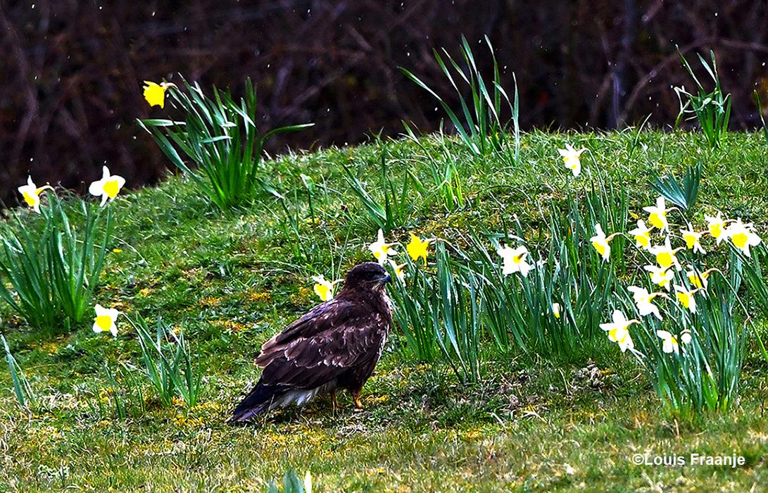 Molshoop tussen de bloeiende narcissen, bleek achteraf een buizerd te zijn - Foto: ©Louis Fraanje