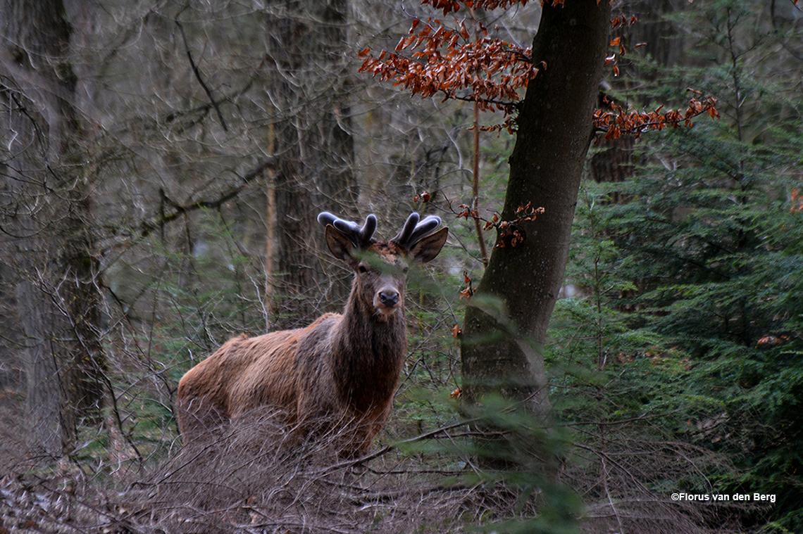 Ook al zit er een tak in de weg, het blijft een schitterend dier - Foto: ©Florus van den Berg