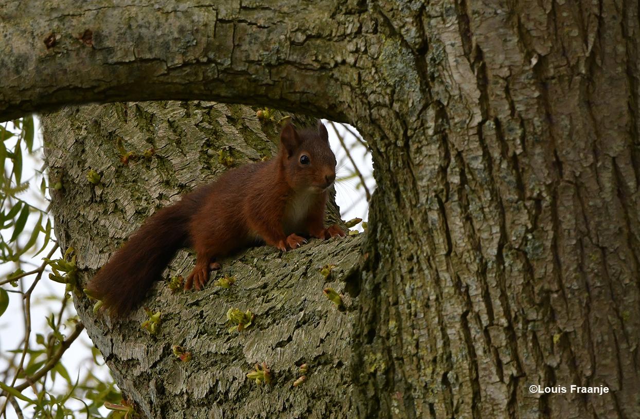 De rappe eekhoorn zit even stil en berekent zijn kansen - Foto: ©Louis Fraanje