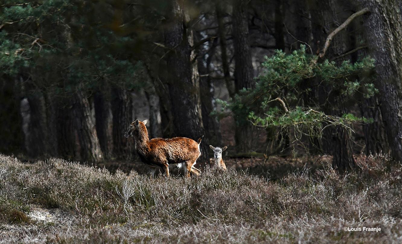 Vanachter een andere heuvel verscheen ook een ooi met haar lammetje - Foto: ©Louis Fraanje