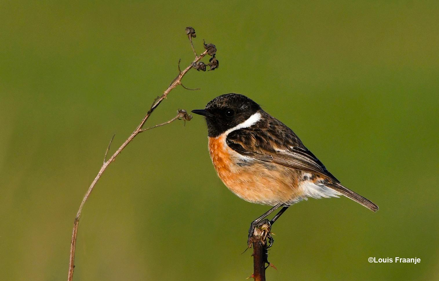 In een flits is de vogel verdwenen en zit hij even later rechts op een afgebroken takje - Foto: ©Louis Fraanje