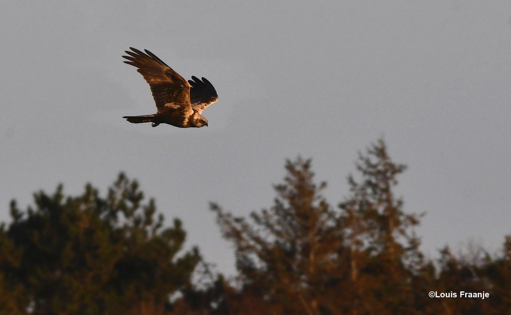 Een prachtig gezicht zo'n jagende bruine kiekendief boven de bosrand - - Foto: ©Louis Fraanje