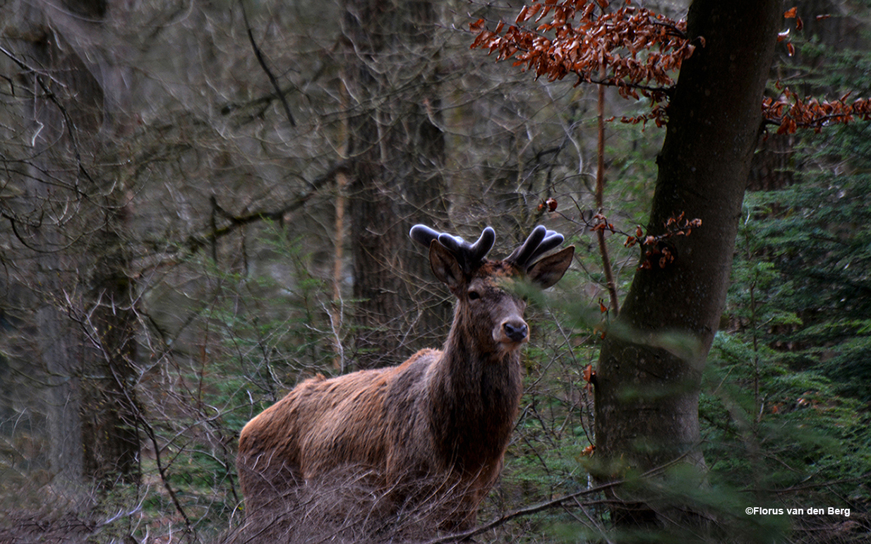 Ook bij Lambertus krijgt het bastgewei al aardig vorm - Foto: ©Florus van den Berg
