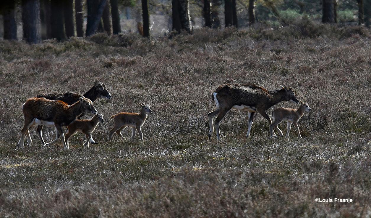 Er waren inmiddels al meerdere lammetjes geboren - Foto: ©Louis Fraanje