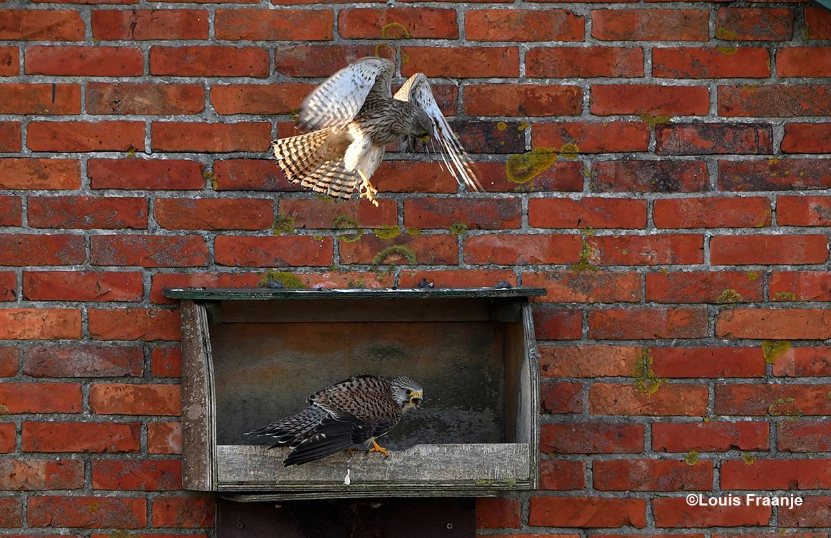 In de broedkast zit het mannetje te roepen, en het vrouwtje komt net aanvliegen - Foto: ©Louis Fraanje