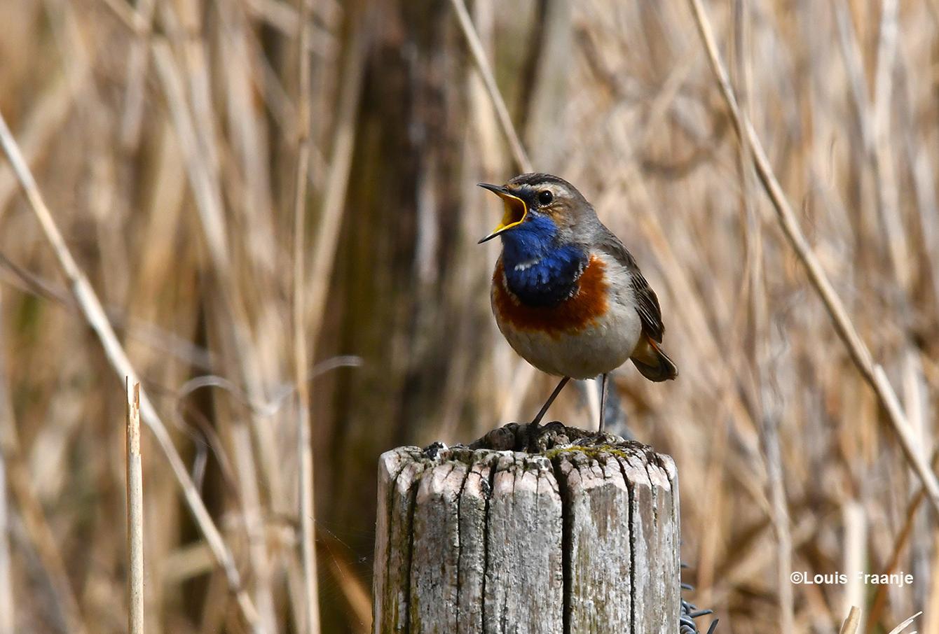 Zo'n klein vogeltje met zo'n groot volume, prachtig - Foto: ©Louis Fraanje