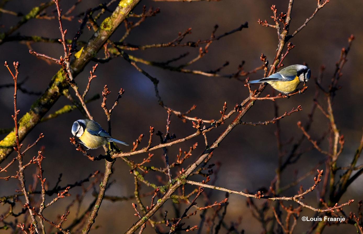 De pimpelmezen knabbelen aan de verse knoppen van een oude eikenboom - Foto: ©Louis Fraanje