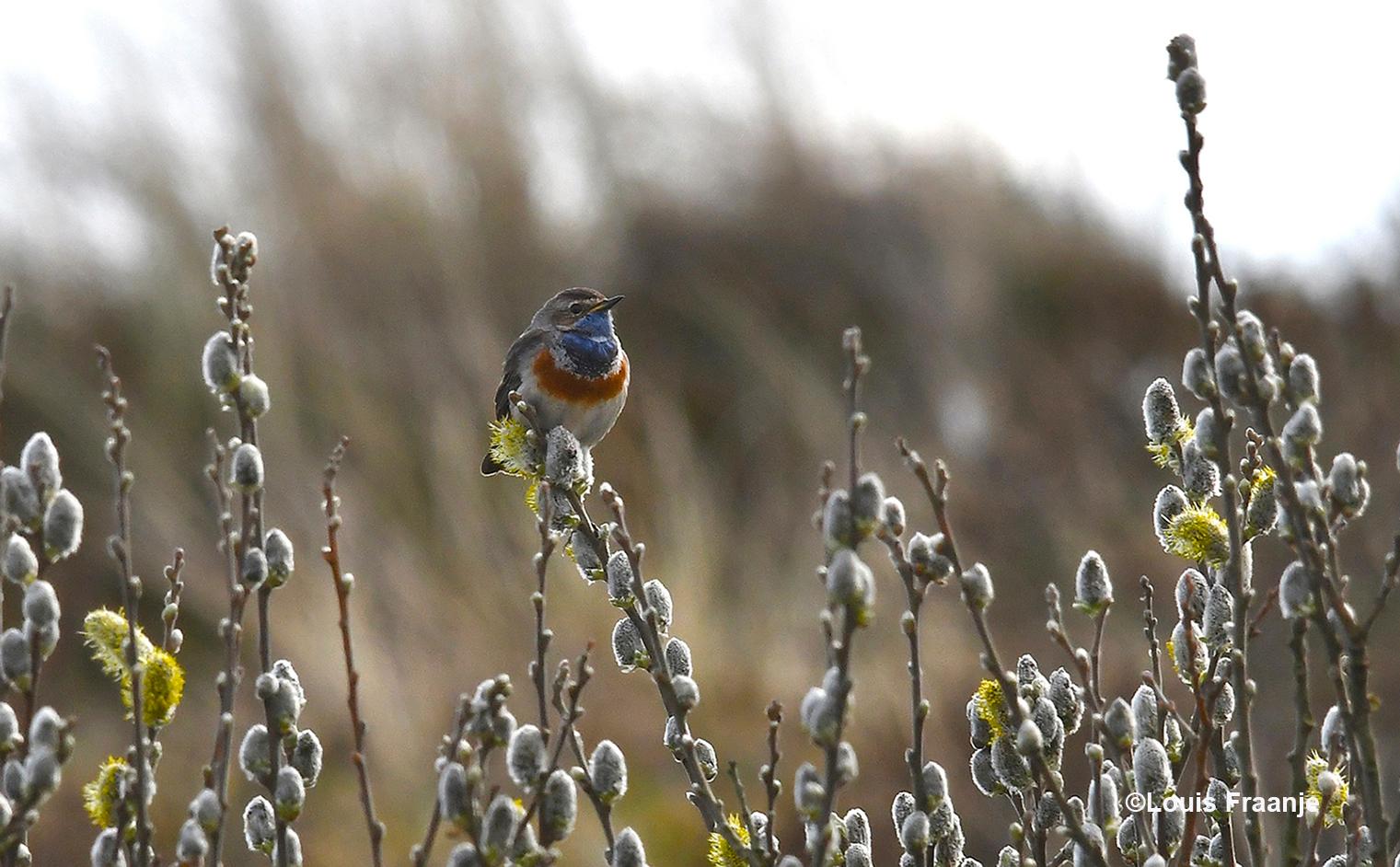 Een vogel als het blauwborstje kunnen wij echt van genieten - Foto: ©Louis Fraanje